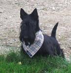 Chien scottish terrier  Automne de la foret de garsenland - Terrier Ecossais  (Vient de naître)
