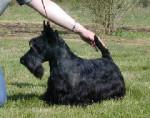 Chien SCOTTISH TERRIER  DD PASSE PARTOUT DE GLENDERRY - Terrier Ecossais Mâle (Vient de naître)