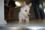 Chien Scottish Terrier - Fidji - Terrier Ecossais  (Vient de naître)