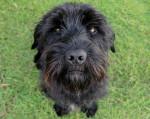 Photo Terrier Ecossais