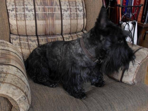 Pixie - Terrier Ecossais Mâle (18 ans)