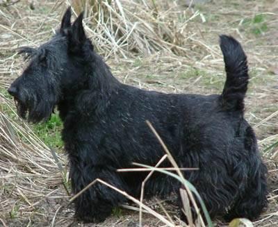 Merlin (merlinoute) - Terrier Ecossais Mâle (Autre)