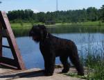 Lari - Terrier noir russe Mâle