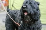 Photo Terrier noir russe