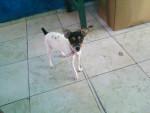 nuve - Toy terrier noir et feu (9 mois)