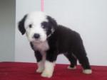 Punchis - Toy terrier noir et feu (6 ans)