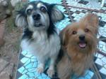 Pequeña - Toy terrier noir et feu (7 ans)