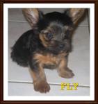 FLY - Toy terrier noir et feu Mâle (1 an)