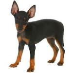 Princess - Toy terrier noir et feu (10 mois)