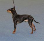 Koira - Toy terrier noir et feu