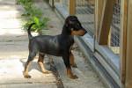 9 mois - Toy terrier noir et feu