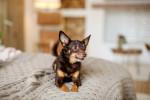 Photo Toy terrier noir et feu