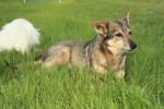 Sassy and Jack - Vallhund suédois (20 ans)