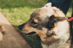 Photo Vallhund suédois