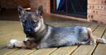 Axel - Vallhund suédois Mâle