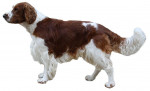 Photo Welsh Springer Spaniel