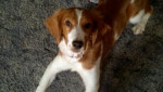 abby - Welsh Springer Spaniel (11 mois)