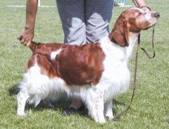 Springer Gallois - Welsh Springer Spaniel