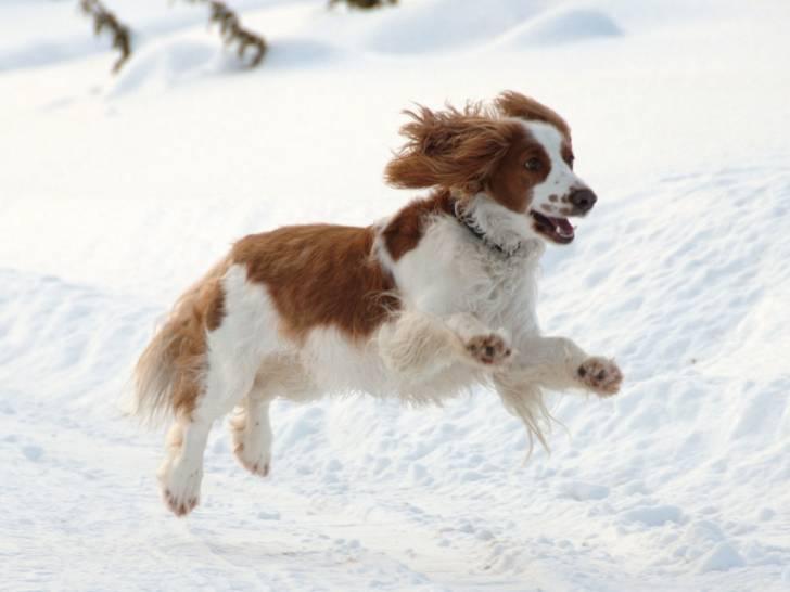 Photo Welsh Springer Spaniel