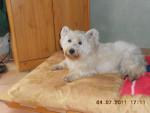 winnie - West Highland White terrier Mâle (10 ans)