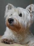 winnie ( super photo ) !!! - West Highland White terrier Mâle (10 ans)