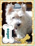 pretty girl - West Highland White terrier (7 mois)