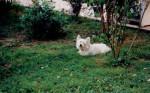 Maïk - West Highland White terrier Mâle (7 ans)