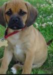 Pugly - Puggle Mâle (8 mois)