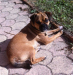 Cannelle - Puggle (1 an)