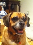 Tonka - Puggle Mâle (9 ans)