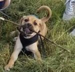 Milo - Puggle Mâle (3 mois)