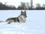 Amarok (chien-loup tchècoslovaque) dans la neige - Chien Loup Tchèque