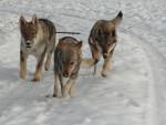Amarok,Venus,Wayta, chien-loup tchécoslovaque des plaines de l'est - Chien Loup Tchèque