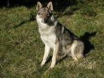 Ambre des plaines de l'est (chien-loup tchécoslovaque) - Chien Loup Tchèque