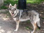 Astrale des plaines de l'est (chien loup tchecoslovaque) - Chien Loup Tchèque