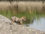 Balzac des plaines de l'est,chien-loup tchécoslovaque - Chien Loup Tchèque