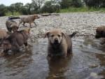 Chiots chien-loup tchécoslovaque de 6 semaines