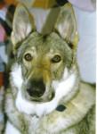 chien loup tchecoslovaque urka du clos des deux sapins - Chien Loup Tchèque