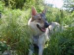 Chien loup tchécoslovaque Wolfie - Chien Loup Tchèque