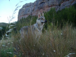 Wolfie chien loup tchécoslovaque - Chien Loup Tchèque