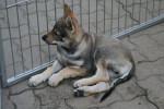 Jango - Chien Loup Tchèque Mâle (3 mois)