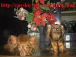 Russkiy toy/petit chien russe/ Alise et Darsik - Russky Toy