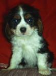 Skye - King Charles (9 mois)
