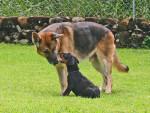 Jessie and Burrito - Korean Mastiff