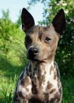 American Hairless Terrier - American Hairless Terrier