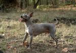 Photo American Hairless Terrier