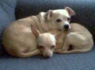 nelly and batman - American Hairless Terrier (Autre)