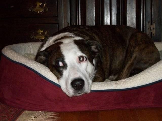 Socks - American Hairless Terrier (5 ans)