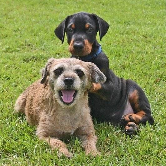 jake and poppy - American Hairless Terrier