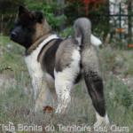 Isla Bonita du Territoire des Ours - Akita américain